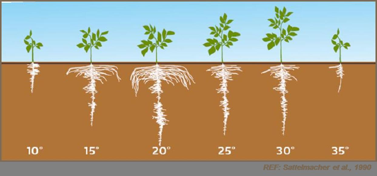 El efecto de la temperatura del suelo en el desarrollo radicular